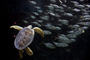 St Louis, US A green sea turtle is released into the St Louis aquarium after being hit by a boat three years ago with injuries that keep it from being released into the wild