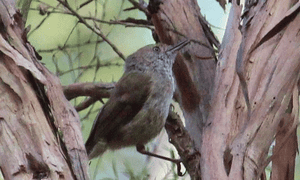 A rare sighting of the critically endangered King Island brown thornbill