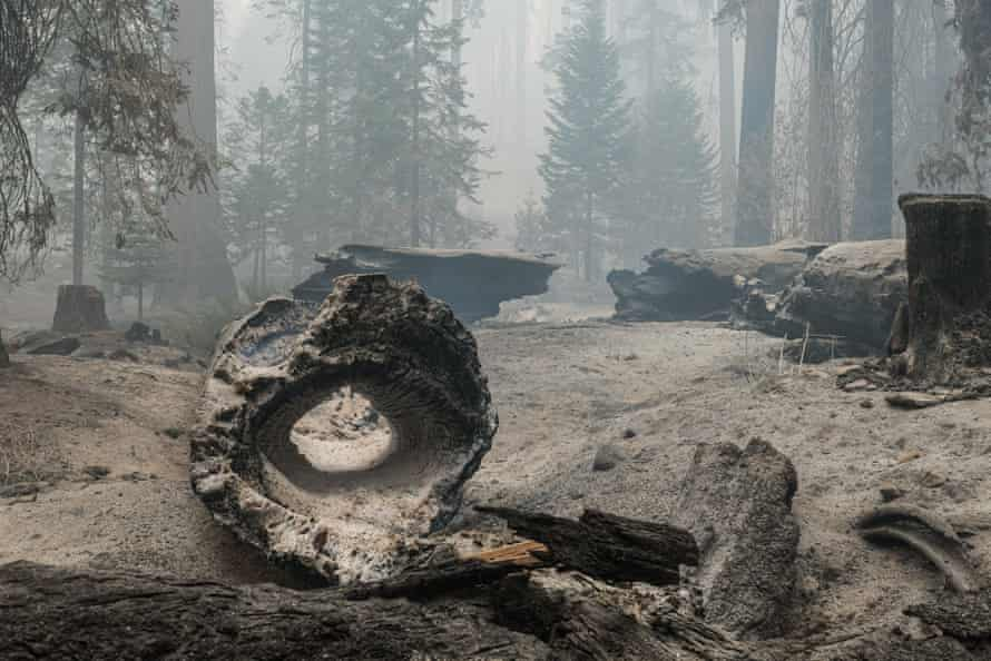 Trees charred during the Windy fire line the forest floor in the Sequoia national forest.