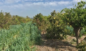 """What's going on with your orchard? Is that a cover crop?"" Hip-high cover crops."