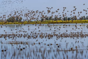 Shorebirds take flight at the Merced national wildlife refuge in the central valley of California.
