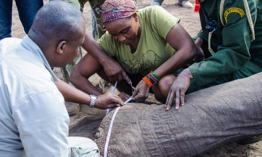 Scientists take biometric measurements of elephant Tim as he lies unconscious during operations to fit a tracking collar in Amboseli National Park, Kenya, on 10 September 2016.