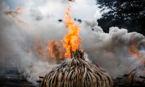 Burning confiscated ivory to send a signal to poachers is on the increase. But does it help elephants?