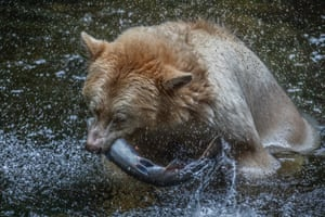 The bears help enrich the forest by spreading salmon nutrients.