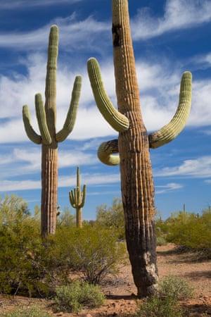 Saguaro, Ironwood Forest National Monument, Arizona