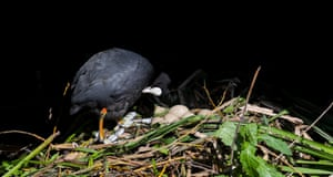 A Coot (Fulica atra) preens & returns to the nest for its turn incubating its eggs by the Duke of Northumberland's River behind Twickenham Rugby Ground, now a Covid-19 testing station.
