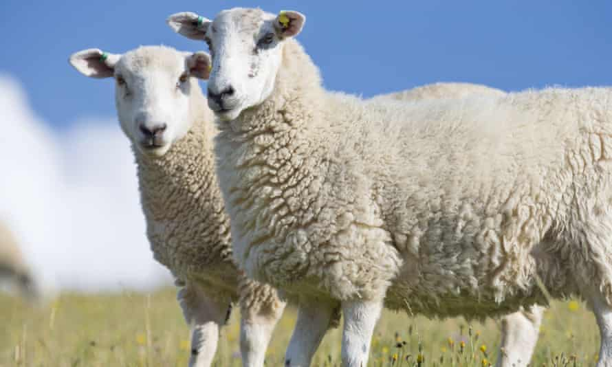 Sheep, but not from Wool.