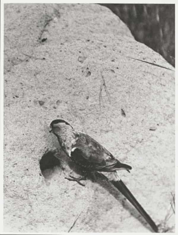 A male Paradise parrot at the entrance to its nest, photographed in 1922