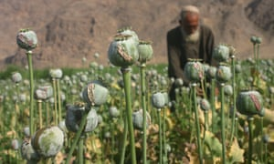 An Afghan man collects a raw opium from a poppy flower in a field in Kandahar. Most of the heroin in Britain comes from Afghanistan.