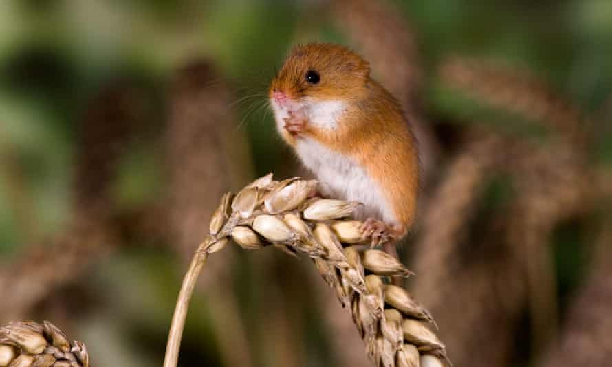 A harvest mouse in Bedfordshire