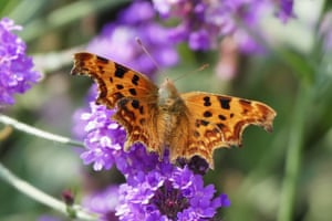 A comma butterfly rests on slender verbena flowers in Berkshire.