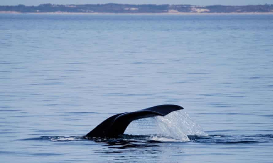 A North Atlantic right whale dives.