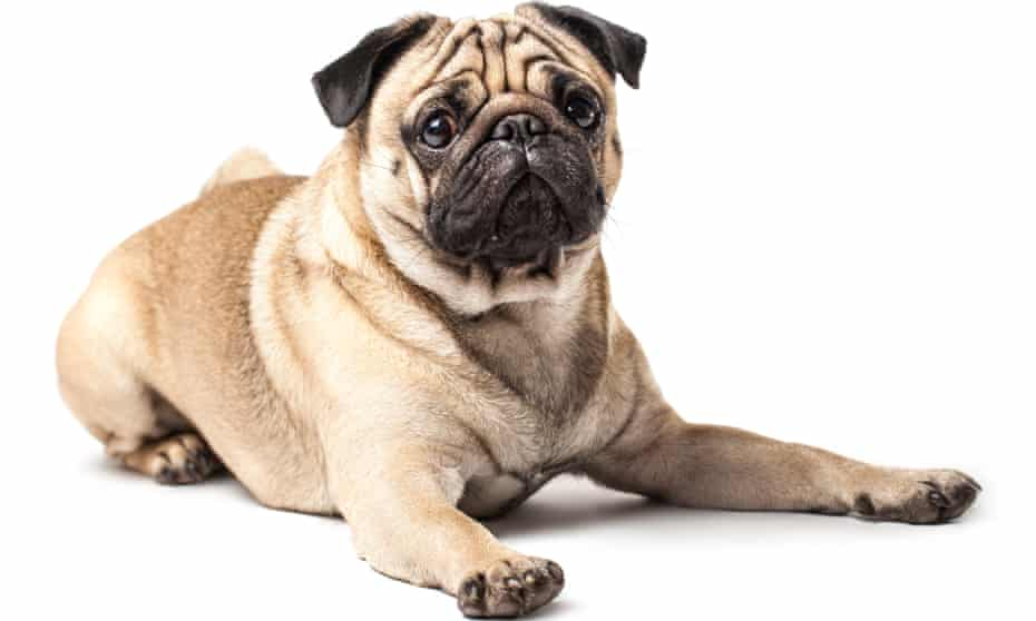 Experts say that in breeds such as pugs, generations of selective breeding have prioritised appearance over health.
