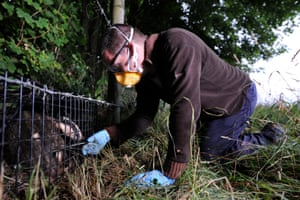 Vaccination project officer John Field trims the badgers coat before applying a stock spray to identify it as vaccinated.