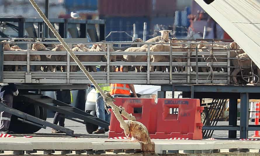 Sheep are loaded onto the Al Kuwait in Fremantle, Australia in June 2020