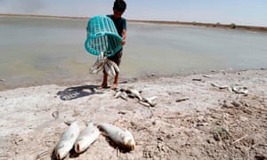 A boy collects dead fish from a reservoir near Basra, where saltwater has polluted the Shatt al-Arab waterway.