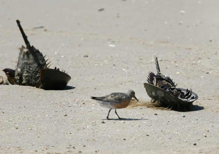 A migrating Red Knot near dead horseshoe crabs on the beach along Delaware Bay in Fortescue, New Jersey.
