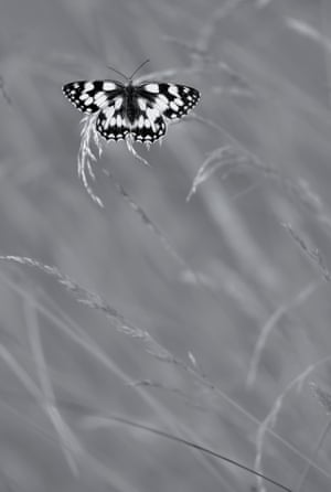 Black and white category winner: Marbled White In Grass by Nicholas Court from Derby, Derbyshire
