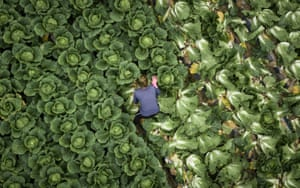 Picking cabbages, near Mokpo