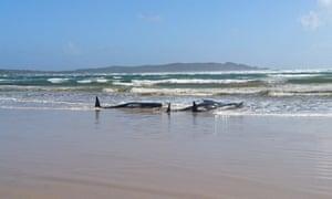 Stranded whales on a sandbar in Macquarie Heads, Tasmania.