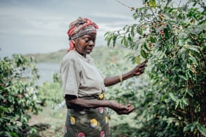 A woman harvests coffee cherries at the CPNCK coffee cooperative