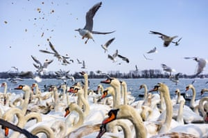 Swans and gulls fight for pieces of bread on the snow-covered banks of the Danube river in Belgrade