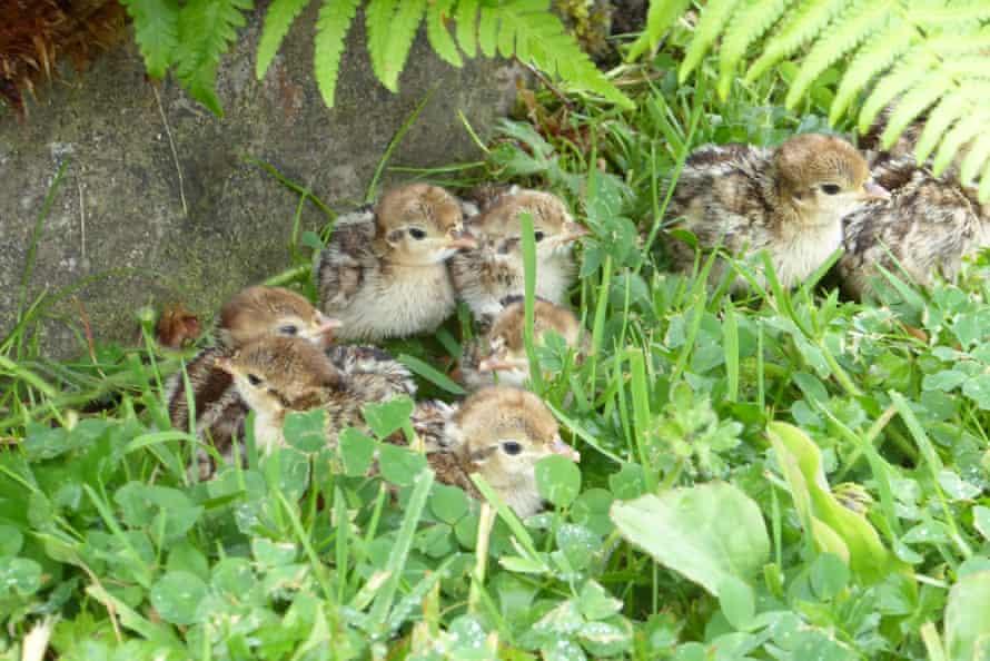 The partridge chicks.