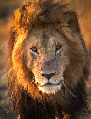A male lion in the Okavango Delta, Botswana. His face sports scars from epic battles in the flooded swamps with his most formidable foe, Cape Buffalo