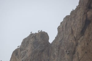 Wild goats on a mountain after Turkish police scattered grass around the mountainside in Gurpinar district of Van, Turkey