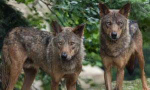 Iberian wolves.