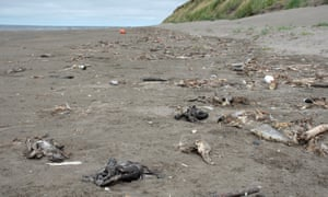 Dead shearwaters in Alaska