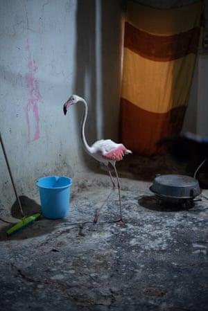 A pet flamingo that lives on Ali Abou Hussein's farm outside Amara.