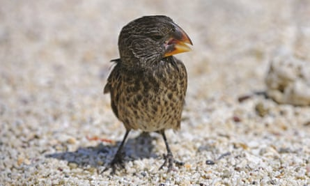 One of Darwin's finches, Galápagos Islands.