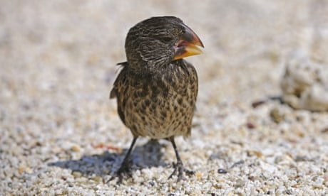 Darwin's finches sing out-of-tune call after parasites deform beaks