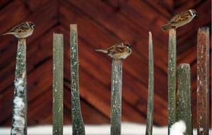 Sparrows perch on fence posts in the Ivanovo region of Russia