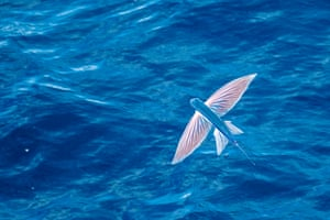 A rare sighting of a beautiful flying fish cruising above the Atlantic Ocean off the coast of Mauritania, north Africa.