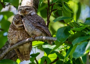 Two spotted owls (Strix occidentalis) cuddle while perched on a tree branch in Kathmandu, Nepal. Nepal is a main destination for migratory birds coming from the southern parts of south-east Asia as well as from Africa and Australia, due to its favourable breeding environment. According to ornithologists, more than 900 birds species have been spotted in Nepal.