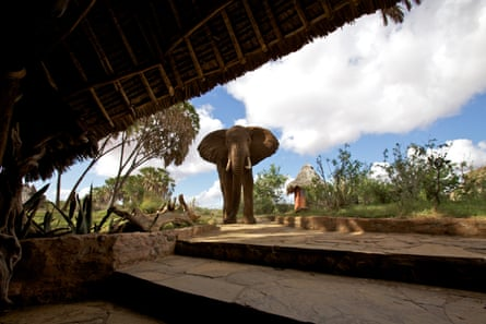 A bull elephant approaches a lodge in Tsavo, Kenya.