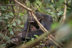 A chimpanzee in Bossou, Guinea. This group of chimpanzees, sadly has diminished to only seven individuals and the forest is isolated from other forests.