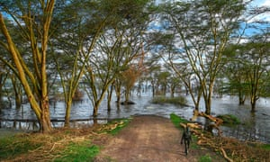 A warden from the Kenya Wildlife Services walks back from the point where the main road into the Lake Nakuru National Park is submerged in floodwater.