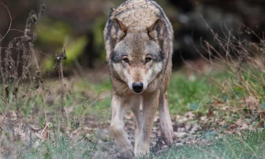 A European wolf