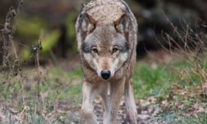A European wolf in Lower Saxony, Germany