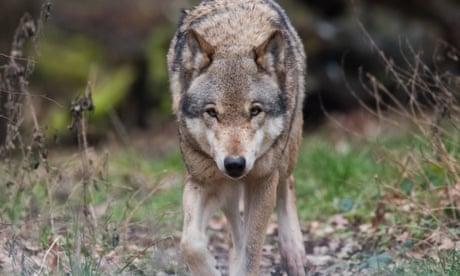 Environment groups offer €30k reward to identify wolf's killer