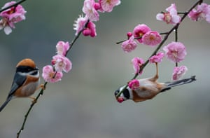 Black-throated tits gather around plum blossoms at a plum garden in Wuxi, east China's Jiangsu province