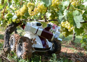 Robot grape pickers are tested in a French vineyard