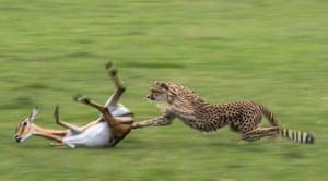 <strong>A cheetah hunts a pregnant impala in Masai Mara, Kenya. This image, one among many, was published to mark International Cheetah Day on 4 December</strong>