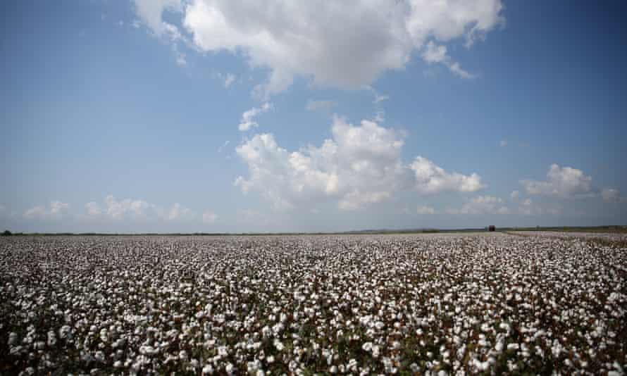 Cotton harvest in Çukurova, Turkey.