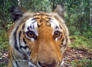 A tiger looking straight into a remote camera installed in a forest in western Thailand. An estimated 3,900 wild tigers live in forests worldwide while about 160 of the big cats are believed to live in Thailand's jungles