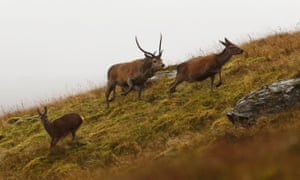 A roaring rutting stag chases hinds with his tongue out to detect if they are in season.