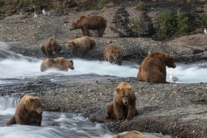 Brown bears fish for salmon at McNeil Falls in Alaska's McNeil River State Game Sanctuary - home to the largest known seasonal congregations of brown bears on earth.